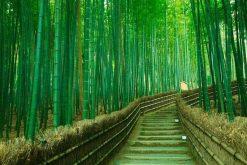 Arashiyama Bamboo Grove Maizuru shore excursions