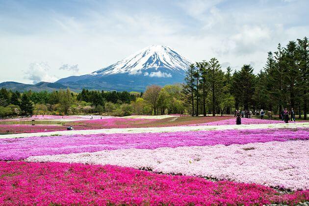 Mount Fuji Shibazakura Festival