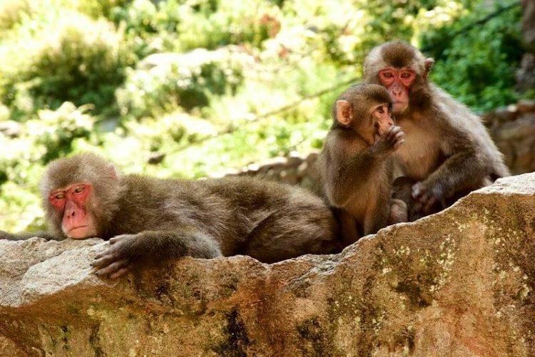 Mt. Takasaki Monkey Park Beppu shore excursions
